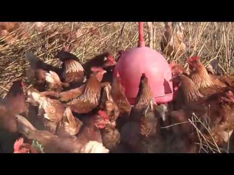 Produção modelo de ovos caipiras!